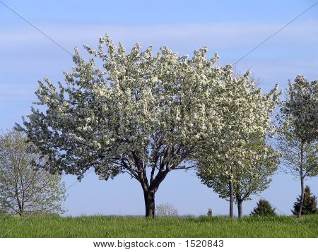 Flowering Dogwood Trees