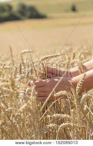 Hands in the middle of a cornfield