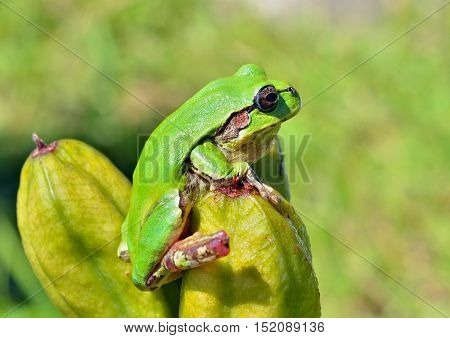 A close up of the hyla (tree toad) (Hyla Japonica).