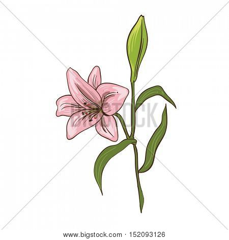 Lily - traditional flowers for bouquet. Realistic vector floral illustration. Summer blossom and branch with leaf. Rosy decoration graphic elements for your design. Isolated on white background.