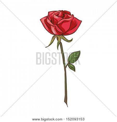 Rose - traditional flowers for bouquet. Realistic vector floral illustration. Summer blossom and branch with leaf. Red decoration graphic elements for your design. Isolated on white background.