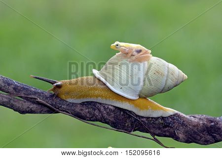 Tree frog, beautiful yellow tree frog on snail
