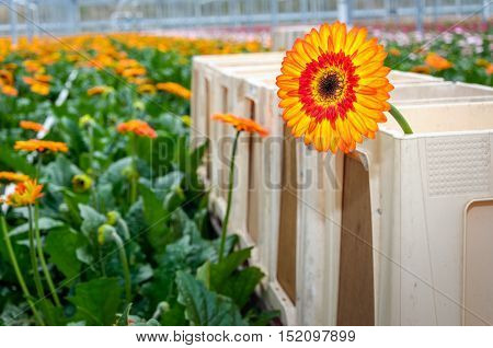 Closeup of a brown hearted orange Gerbera flower in a plastic harvest container in the foreground of a large heated glasshouse of a specialized Dutch flower nursery. poster