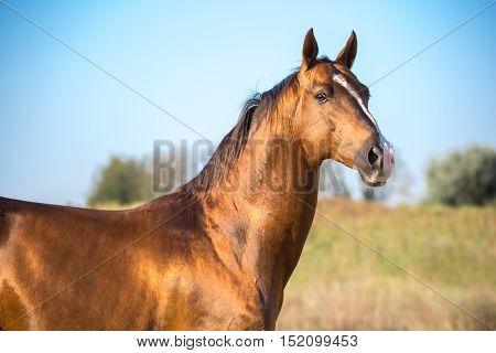 Dark golden horse portrait on nature background