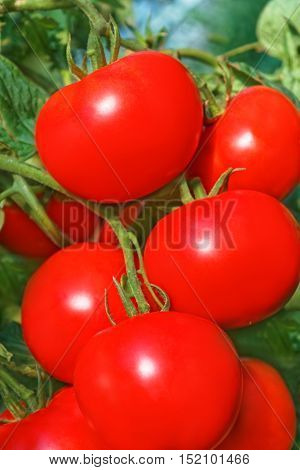 Cluster of big ripe red tomato fruits hanging on the branch in greenhouse close-up