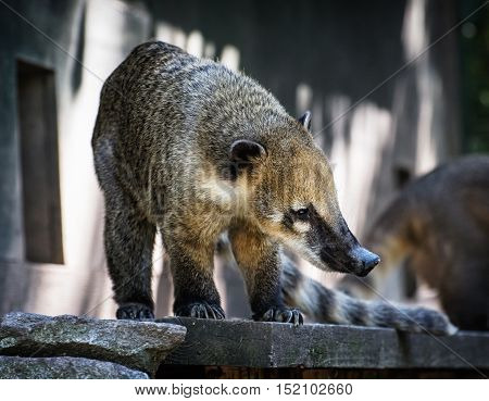 Nasua portrait - Ring-tailed coati. Animal scene. Beauty in nature.