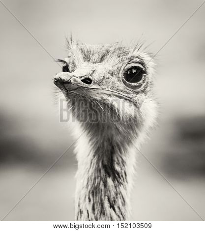Emu portrait - Dromaius novaehollandiae. Beauty in nature. Flightless bird. Black and white photo. Looking at the camera. Humorous scene.