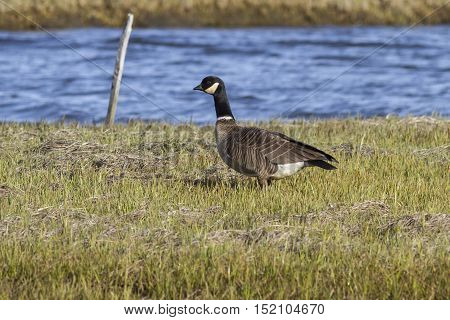 Aleutian Goose standing on the river bank on the island of Bering summer day