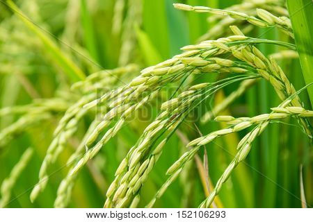 close up of paddy green rice field