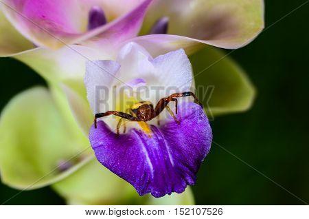 Closed up of spider on Siam Tulip