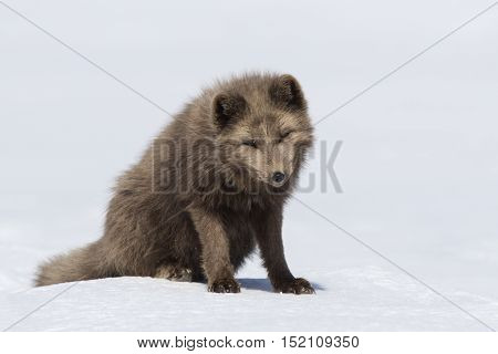 Commanders blue arctic fox sitting in the snow with his head down on a sunny day