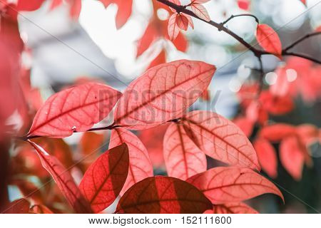abstract fresh new red leaves glowing in green forest focus select focus