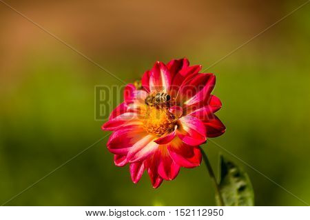 Close-up of a red Flower. Spring Flowers. Garden Flowers. Blooming Flowers in Spring. Honey Bee on a Flower. Flower Head