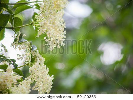 Elderflowers On Green And Rainy Background