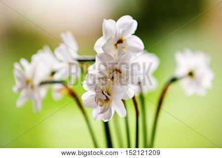 A white bouquet of daffodils pictures doff
