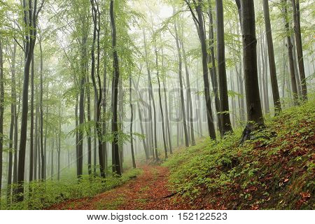 Beech forest in misty weather. October, Poland.
