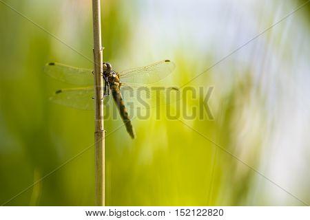 Dragonfly yellow darter (Sympetrum flaveolum) sitting on a reed straw