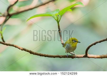 Tiny Little Silvereye Or Wax-eye (zosterops Lateralis) A Small Omnivorous Passerine Bird