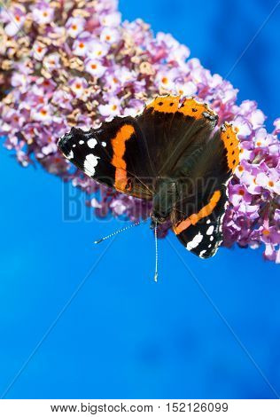 Red Admiral butterfly feeding on a Buddleia flower in a welsh garden. A large black butterfly with orange-red and white markings on its wings. A migrant to the UK from Europe sometimes surviving here in mild winters. The larvae feed on nettles.