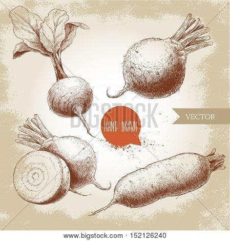 Hand drawn beet root set. Beet with leafs half of beet long beet. Sketch vintage vector illustration.