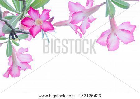 Flowers Desert Rose; Impala Lily; Mock Azalea flowers on background