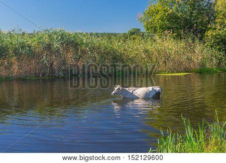 Lonely cow having water treatment in summer Ukrainian river Merla