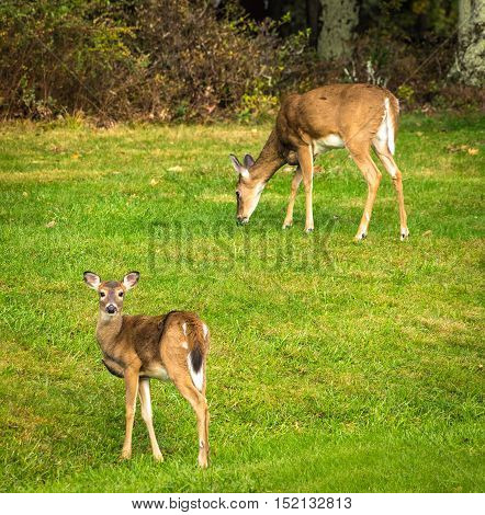 A Doe and her Fawn seen at the Big Meadow campground off the Skyline Drive in Shenandoah National Park.