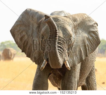 Elephant with ears flapping and trunk in the air in Hwange