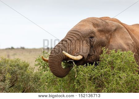 African Bush Elephant Munching On A Branch