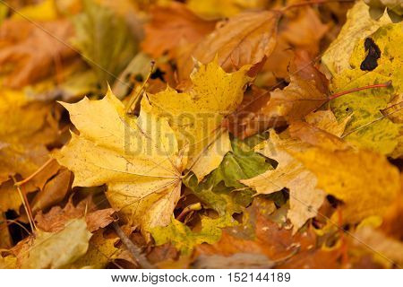 Background with the fallen-down autumn leaves of a maple