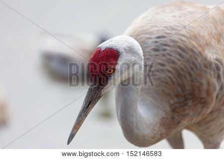 a Sandhill Crane head close up shot