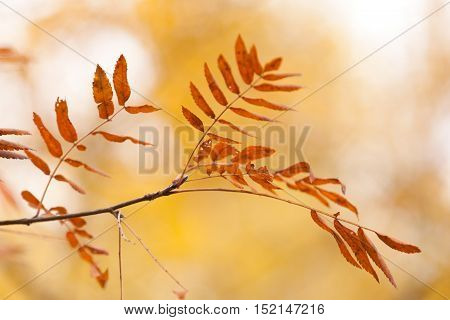 The mountain ash leaves against the background of the autumn wood