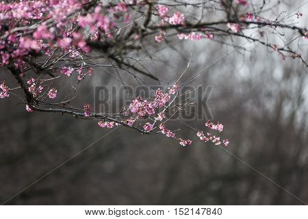 Blooming whitcomb cherry in spring Vancouver BC