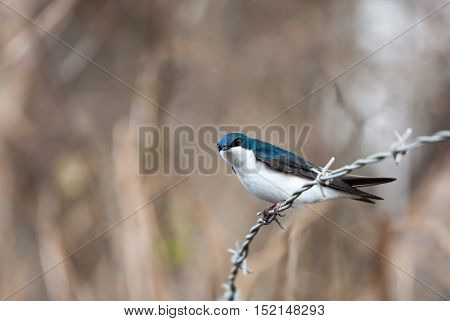 Blue tree swallow in spring close up