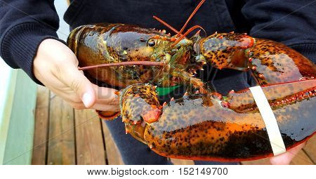 Fresh caught whole lobster displayed outdoors on the dock.