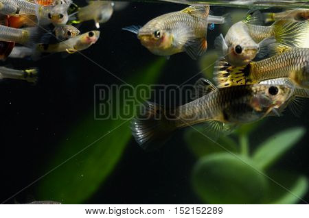 Guppy Multi Colored Fish