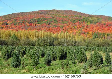Christmas trees at a pine plantation in daylight in fall