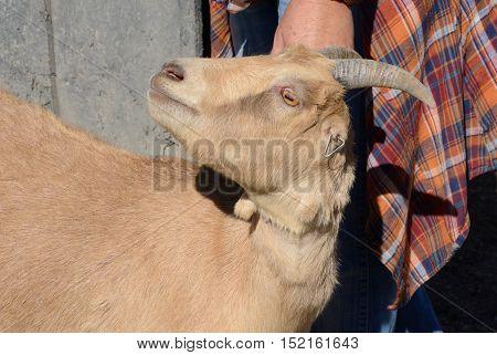 Close up of brown Lamancha dairy goat