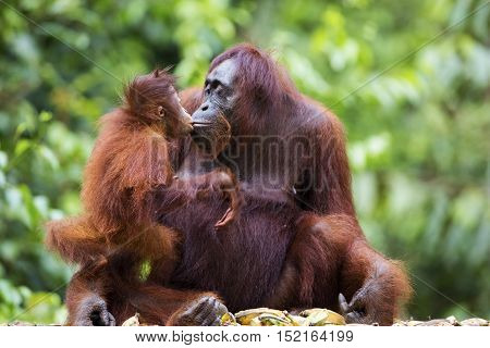 Female orang-utan sharing a kiss with her baby in their native habitat. Rainforest of Borneo.