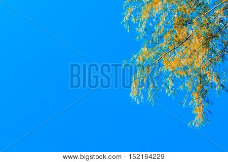 Leaves yellow gold on bright blue sky background