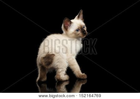 Crouched Mekong Bobtail Kitten with Blue eyes, Back view on tail, Isolated Black Background with Reflection, Color-point Thai Fur
