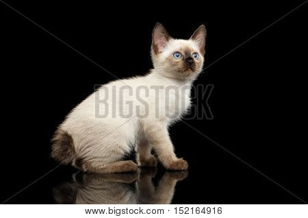 Mekong Bobtail Kitten with Blue eyes, Sitting side view, Isolated Black Background with Reflection, Color-point Thai Fur