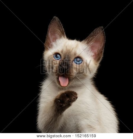Close-up Portrait of Funny Mekong Bobtail Kitty with Blue eyes, Lick his paw, Isolated Black Background, Color-point Thai Fur