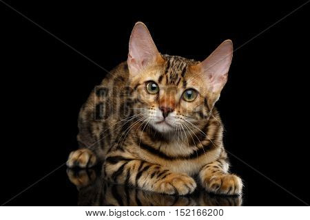 Adorable Bengal kitten Lying on isolated Black Background with reflection, front view