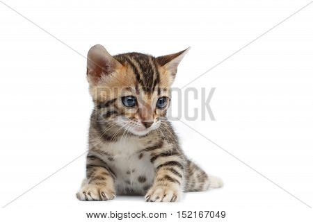 Cute Newborn kitty of bengal breed isolated on white background