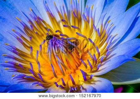 Closeup lotus with 2 bees flying inside