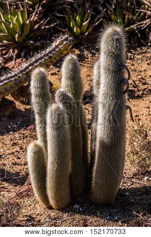 Group of Old Man cactus (Cephalocereus senilis)