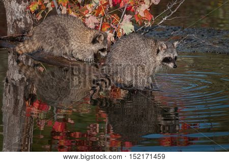 Two Raccoons (Procyon lotor) on Log - captive animals