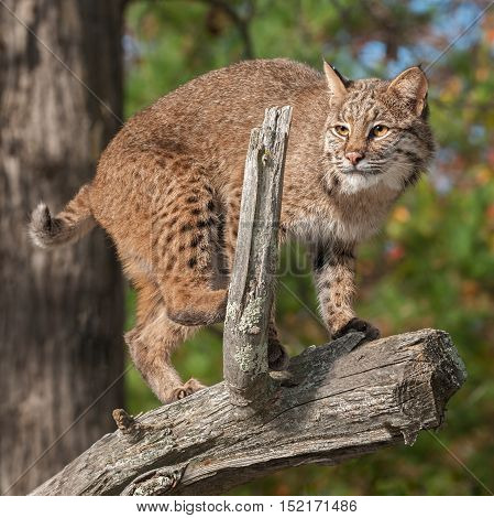 Bobcat (Lynx rufus) Crouches on Branch - captive animal
