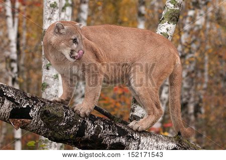 Adult Male Cougar (Puma concolor) Licks Nose Looking Right - captive animal